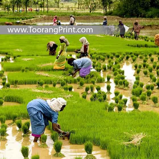 برنج و کیسه برنج