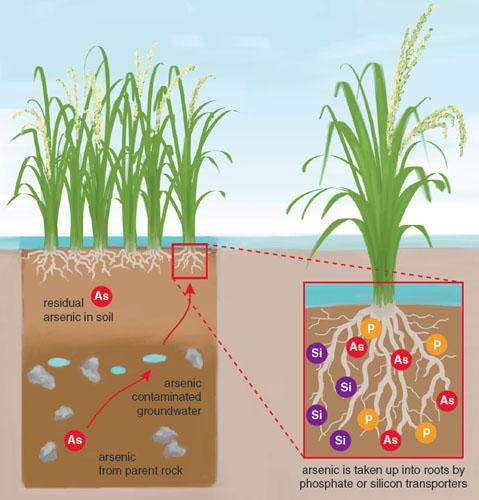 آرسنیک چیست؟ علت آلوده شدن برنج به آرسنیک چیست و چگونه سم آرسنیک در برنج را بشوییم؟