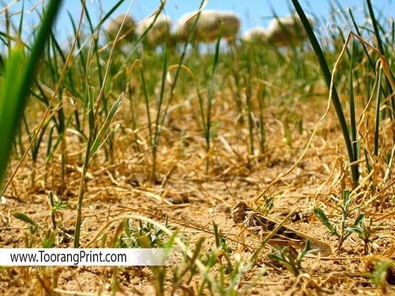 آفت محصولات کشاورزی